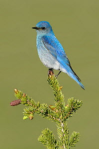 Mountain Bluebird (Sialia currucoides) male, Montana  -  Alan Murphy
