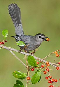 Gray Catbird (Dumetella carolinensis) feeding on berries, Texas - Alan Murphy