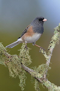 Pink-sided Junco (Junco hyemalis mearnsi), New Mexico  -  Alan Murphy