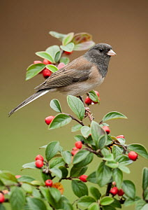 Oregon Junco (Junco hyemalis oreganus), British Columbia, Canada  -  Alan Murphy