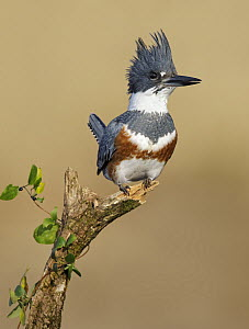Belted Kingfisher (Megaceryle alcyon) in defensive posture, Maryland  -  Bill Morales
