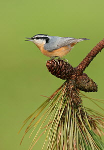 Red-breasted Nuthatch (Sitta canadensis) calling, Ohio  -  Matthew Studebaker