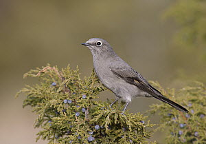 Townsend's Solitaire (Myadestes townsendi), New Mexico  -  Robert Royse