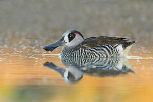 Pink-eared Duck (Malacorhynchus membranaceus) on water, New South Wales, Australia  -  Rob Drummond
