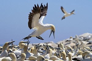 Cape Gannet (Morus capensis) landing in nesting colony, South Africa  -  Rosl Roessner
