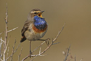 White-spotted Bluethroat (Luscinia svecica cyanecula) male calling, Texel, Netherlands  -  Wolfram Riech