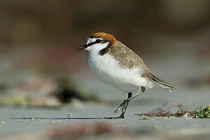 Red-capped Plover (Charadrius ruficapillus) male, South Australia, Australia  -  Rob Drummond