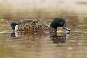 Chestnut Teal (Anas castanea) drake swimming, Murramarang Beach, Murramarang National Park, New South Wales, Australia  -  Sebastian Kennerknecht