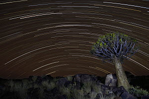 Quiver Tree (Aloe dichotoma) and star trails, Keetmanshoop, Namibia - Vincent Grafhorst