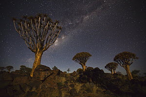 Quiver Tree (Aloe dichotoma) group and the Milky Way, Keetmanshoop, Namibia - Vincent Grafhorst