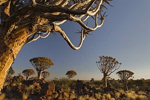 Quiver Tree (Aloe dichotoma) group on grassland, Keetmanshoop, Namibia - Vincent Grafhorst