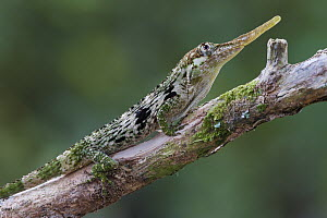 Horned Anole (Anolis proboscis) male, Mindo, Ecuador  -  James Christensen