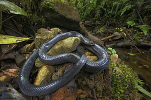 Equatorial Mussurana (Clelia equatoriana) snake in rainforest, Septimo Paraiso Cloud Forest Reserve, Mindo, Ecuador - James Christensen
