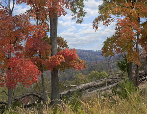Red Maple (Acer rubrum) trees in autumn, Ponca Wilderness, Ozarks, Arkansas  -  Tim Fitzharris