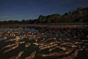 Jacare Caiman (Caiman yacare) group in wetland at night, Pantanal, Brazil  -  Luciano Candisani