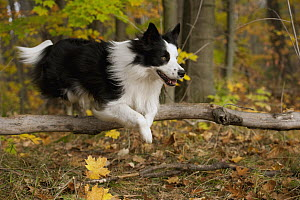 Border Collie (Canis familiaris) jumping over branch - Mark Raycroft