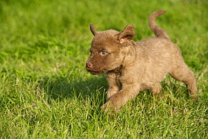 Chesapeake Bay Retriever (Canis familiaris) puppy running - Mark Raycroft
