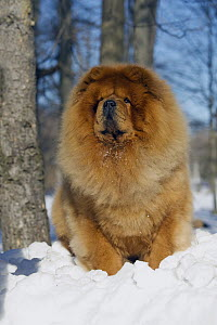 Chow Chow (Canis familiaris) in snow  -  Mark Raycroft