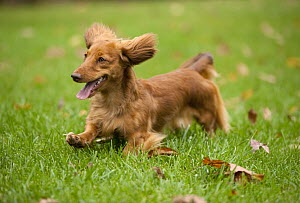 Miniature Long Haired Dachshund (Canis familiaris) running - Mark Raycroft