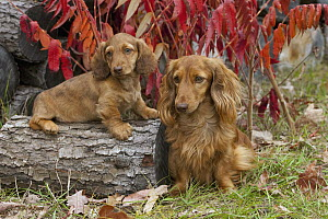Miniature Long Haired Dachshund (Canis familiaris) parent and puppy  -  Mark Raycroft