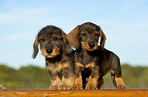 Miniature Wire Haired Dachshund (Canis familiaris) puppies - Mark Raycroft