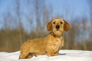 Miniature Wire-haired Dachshund (Canis familiaris) young male in snow - Mark Raycroft