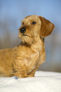 Miniature Wire-haired Dachshund (Canis familiaris), young male in snow - Mark Raycroft