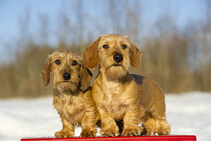 Miniature Wire-Haired Dachshund (Canis familiaris), young male and female - Mark Raycroft