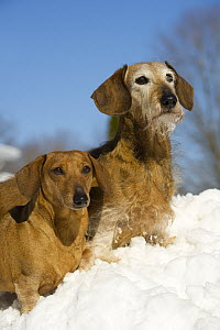 Miniature Smooth Dachshund and Miniature Wire-haired Dachshund (Canis familiaris) pair in snow - Mark Raycroft