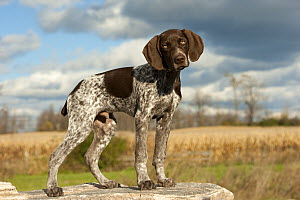 German Shorthaired Pointer (Canis familiaris), male puppy - Mark Raycroft