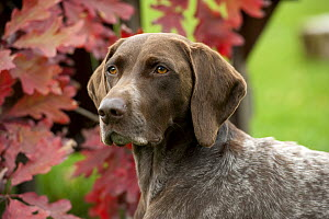 German Shorthaired Pointer (Canis familiaris) - Mark Raycroft