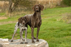 German Shorthaired Pointer (Canis familiaris) adult and puppy - Mark Raycroft