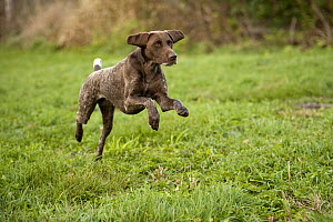 German Shorthaired Pointer (Canis familiaris) running - Mark Raycroft