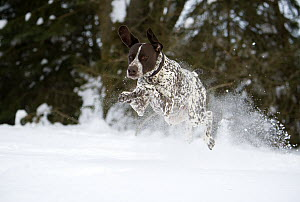 German Shorthaired Pointer (Canis familiaris) running through snow - Mark Raycroft