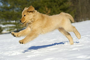 Golden Retriever (Canis familiaris) puppy running through snow - Mark Raycroft