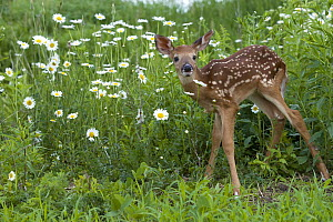 White-tailed Deer (Odocoileus virginianus) fawn - Mark Raycroft
