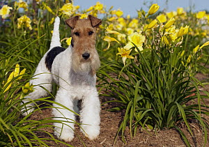 Wire-haired Fox Terrier (Canis familiaris) amid daffodils  -  Mark Raycroft
