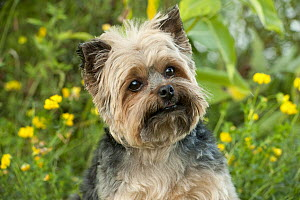 Yorkshire Terrier (Canis familiaris) - Mark Raycroft