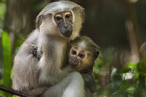 Crested Mangabey (Cercocebus galeritus) mother and five month old young, Tana River Primate Reserve, Kenya  -  Fiona Rogers
