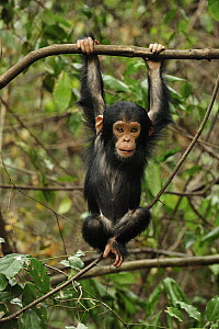 Eastern Chimpanzee (Pan troglodytes schweinfurthii) baby hanging on branch, Gombe Stream National Park, Tanzania - Thomas Marent