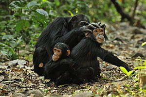 Eastern Chimpanzee (Pan troglodytes schweinfurthii) baby with mother grooming juvenile, Gombe Stream National Park, Tanzania - Thomas Marent