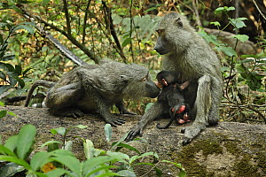 Olive Baboon (Papio anubis) mother and young smelling each other, Gombe Stream National Park, Tanzania - Thomas Marent