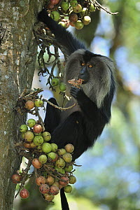 Lion-tailed Macaque (Macaca silenus) feeding on fruit, Western Ghats, India  -  Thomas Marent