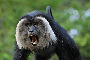 Lion-tailed Macaque (Macaca silenus) in threat display, Western Ghats, India  -  Thomas Marent