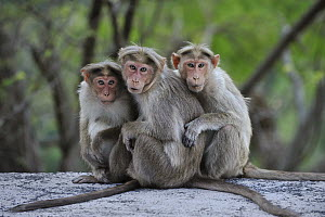 Bonnet Macaque (Macaca radiata) trio huddling, Western Ghats, India - Thomas Marent