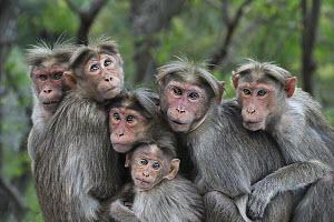 Bonnet Macaque (Macaca radiata) group huddling, Western Ghats, India - Thomas Marent