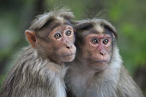 Bonnet Macaque (Macaca radiata) pair huddling, Western Ghats, India - Thomas Marent
