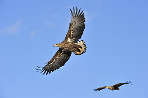 White-tailed Eagle (Haliaeetus albicilla) sub-adult pair flying, Tsurui Ito Sanctuary, Hokkaido, Japan - Thomas Marent