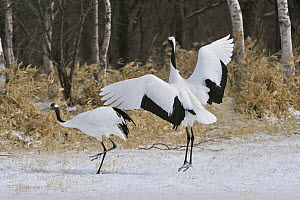 Red-crowned Crane (Grus japonensis) pair courting, Tsurui Ito Sanctuary, Hokkaido, Japan - Thomas Marent
