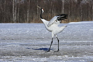 Red-crowned Crane (Grus japonensis) displaying to attract mate, Tsurui Ito Sanctuary, Hokkaido, Japan - Thomas Marent